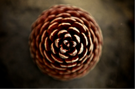 Pine Cone Zoom Image